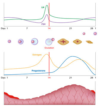 Female Ovulation Cycle and Conception